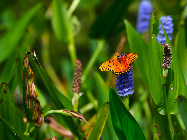 houston arboretum & nature center, houston, texas, fine art, gulf fritillary, butterfly,