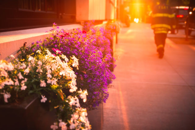 A firefighter walking past purple and white flowers in a windowsill flower box into the sunset.