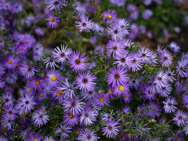 lavender, flowers, purple, nature, Houston, Texas, bee, nature, asters