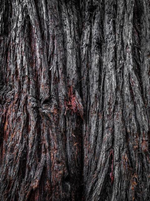 Sequoiadendron giganteum, giant sequoia, giant redwood, Sierra redwood, Sierran redwood, Wellingtonia, big tree, Sequoiadendron, coniferous trees, redwoods, Cupressaceae, Sequoioideae, Sequoia semperv