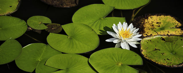 water lily, easter glades, houston, texas