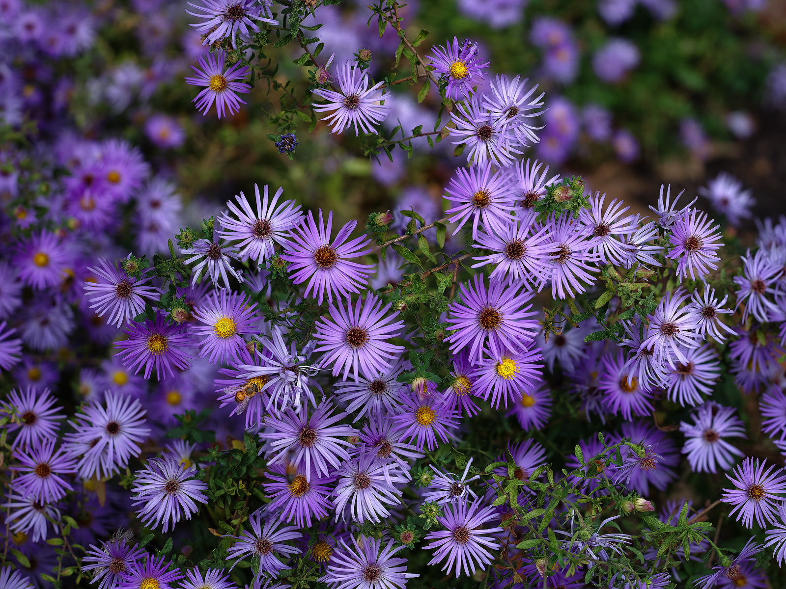 lavender, flowers, purple, nature, Houston, Texas, bee, nature, asters, photo